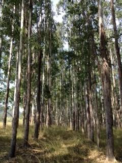 Eucalyptus sap flow