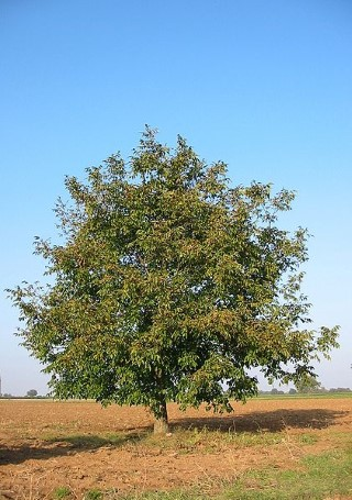 Walnut tree sap flow