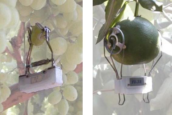 grape tomato dendrometers