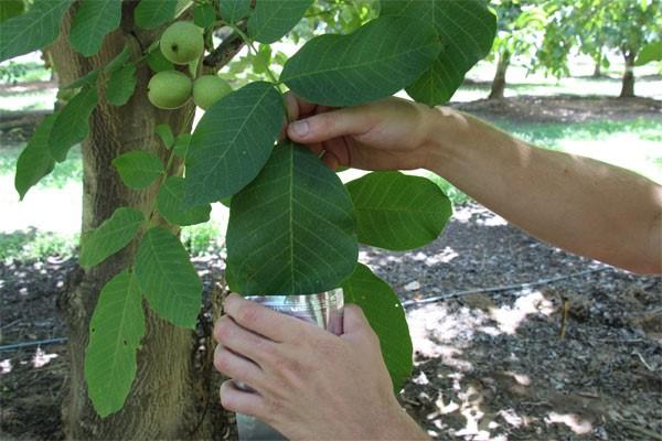 PMS Walnut Leaf