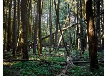 Forest Dendrometer